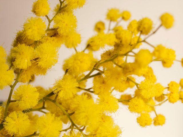 Non solo mimosa per l' 8 marzo